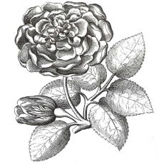 CFF609E Garden Rose Rubber Stamp